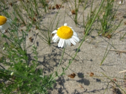 Anthemis euxina Boiss.
