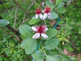 Feijoa sellowiana (O. Berg) O. Berg